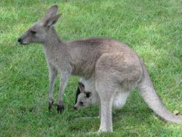 4a99c193c37f RU » Животные » ПОЧЕМУ у кенгуру есть сумка?