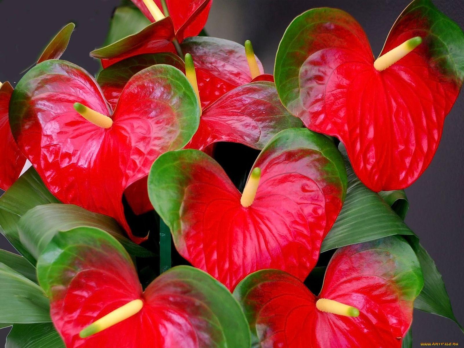 Цветок антуриум красный и